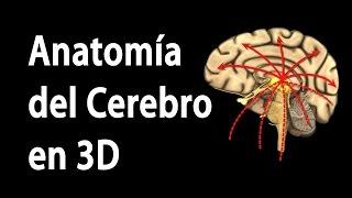 Anatomía del Cerebro en 3D, Animación. Alila Medical Media Español.