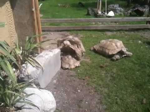 Schildkröten im Salzburger Zoo beim ... ganz schön laut