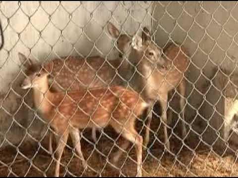 Kỹ thuật chăn nuôi hươu sao VTV16. ĐT 0986 818 305