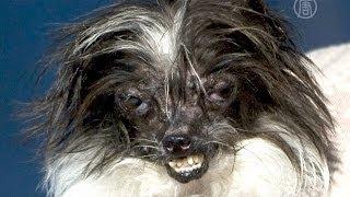 Самая уродливая собака в мире выбрана в США (новости)
