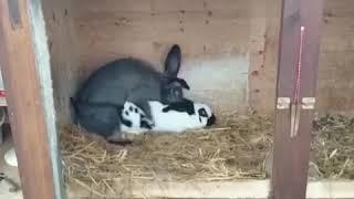 Спаривание кроликов... Прикол