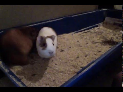Wood Pellet Bedding For Guinea Pigs How To Clean Youtube