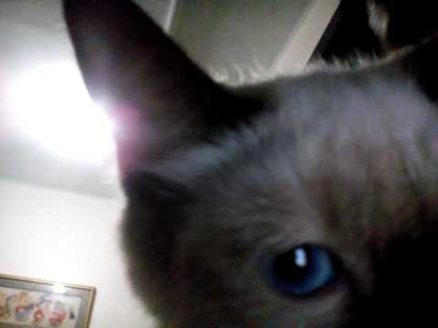 Mix breed of Persian and Siamese