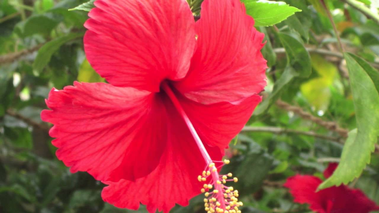 Fast growing hibiscus syriacus red for sale youtube fast growing hibiscus syriacus red for sale izmirmasajfo