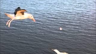 Albatross Helgoland Westklippe 12. Juni 2014