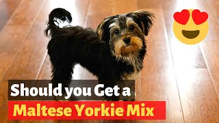 Everything About The Maltese Yorkie mix (Morkie) | Should you get one for your family?