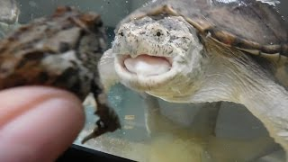 Snapping Turtle Eats A Frog!