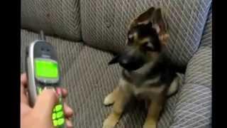 German Shepherd Puppy   Deutscher Schäferhund Welpe   Verstehen Sie Spass Vsspass