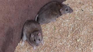 видео Серые крысы