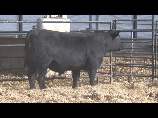 Schiefelbein Angus Farms Lot 273
