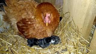 Вылупление цыплят поздней осенью