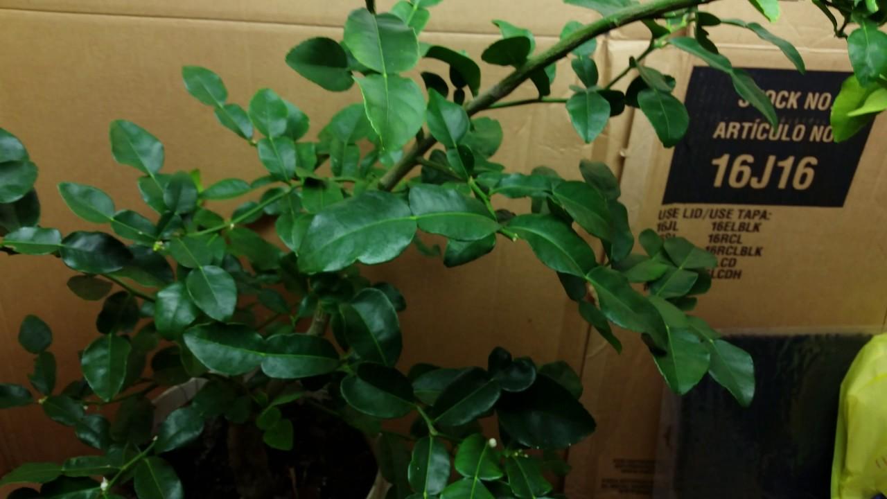 kaffir lime fruiting indoor under grow lights - Kaffir Lime Tree