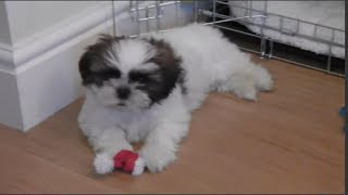 Meet Our New Puppy - 9 Weeks Old Shih Tzu Louis