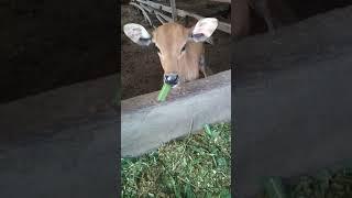 Pelepah sawit sebagai pakan sapi