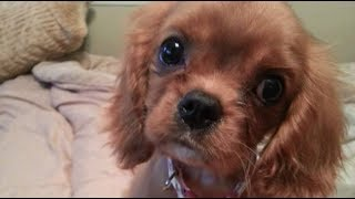 Cavalier King Charles Spaniel Puppy - Head Tilting