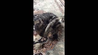 Кошачьи бои в стиле ММА! Лучший бой без правил!