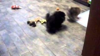 Extra Tiny Pomeranians For Sale In California