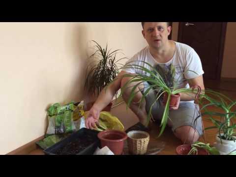 Хлорохитум - самое полезное растение для квартиры