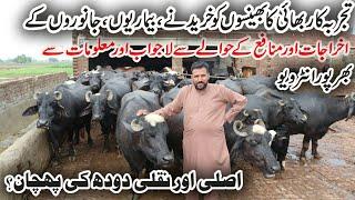 Arif Buffaloes Dairy Farm | Buffaloes Dairy Farming in Urdu | Dairy Farming Business in Urdu