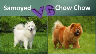 Samoyed VS Chow Chow  Breed Comparison  Chow Chow and Samoyed  Differences