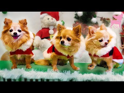 Cute Chihuahua Dogs Having a Fun Christmas Party