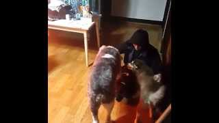 Beagle-stagram Jjcc's Simba #with Pets 6