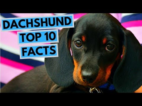 Dachshund - TOP 10 Interesting Facts