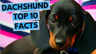 Dachshund  TOP 10 Interesting Facts