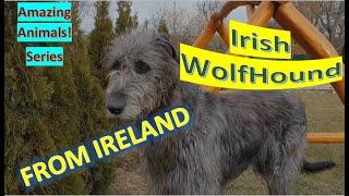 Irish Wolfhound   Amazing Animals   Pet Dogs