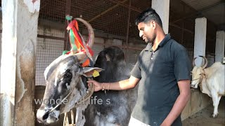 Bullock cart bull named Naga
