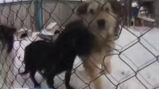 Зоозащитники мешают отлову собак? Николевка Красноярск Андрей Гришаков