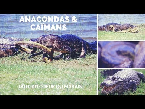 Anacondas & Caïmans - duel au coeur du marais - animal fights