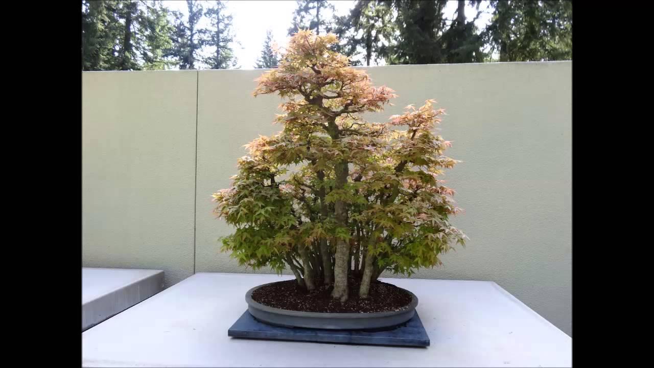 Weyerhaeuser Bonsai Gardens Youtube