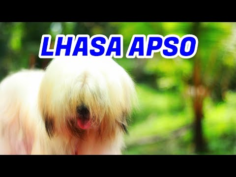 സുന്ദര കുട്ടൻ Lhasa apso [ECO OWN MEDIA] Cute puppy Malayalam