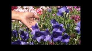 видео Колокольчик карпатский: посадка и уход, фото, выращивание в открытом грунте, размножение и сочетание в ландшафтном дизайне