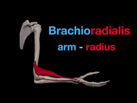 Arm Muscles: 19 Brachioradialis