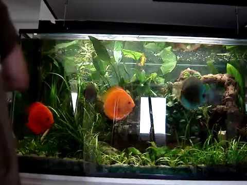entretien aquarium discus Lecaer - YouTube