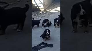 Бернский зенненхунд, собака для души