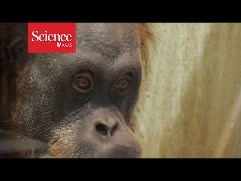 Humans aren't the only great apes that can 'read minds'