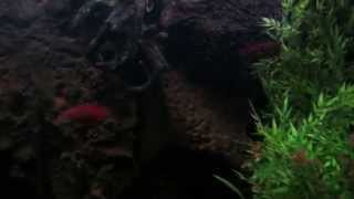 African Fire Jewel Cichlids defending their nest/fry.