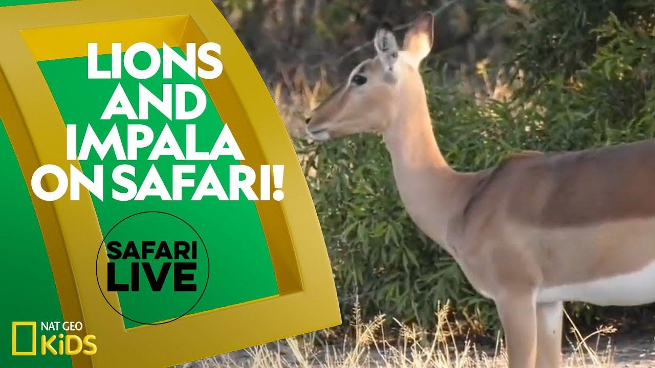 Lions and Impala on Safari! | Safari Live