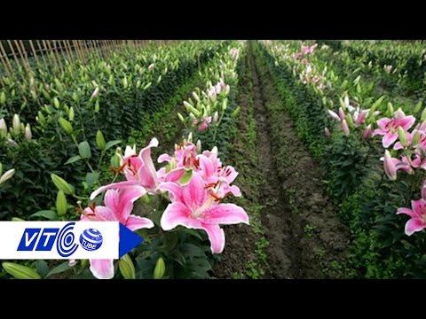 Nông dân Hà Nội dần 'cạn tình' với hoa ly | VTC