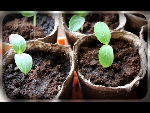 Секрет выращивания огурцов, еще один способ выращивания рассады