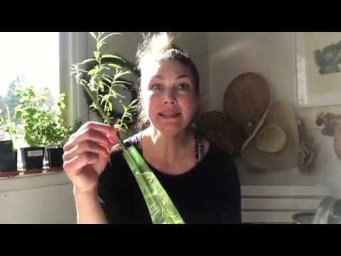 Salix Föröka upp ett Levande grönt staket för trädgården så här