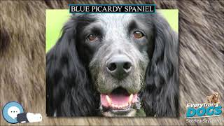 Blue Picardy Spaniel  Everything Dog Breeds