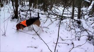 Охота с эстонской гончей в зимнем лесу