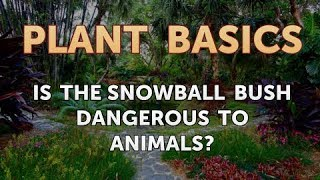 Is the Snowball Bush Dangerous to Animals?
