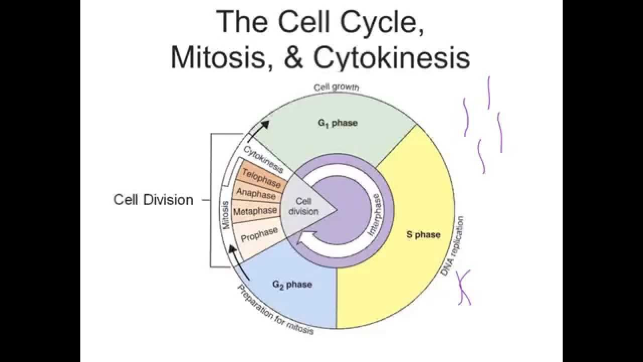 Cell Cycle, Mitosis, & Cytokinesis - YouTube