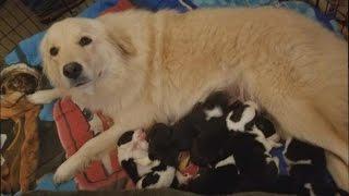 火事で我が子を失った母犬、失意のどん底に。そこで母親を失った子犬たちを与えてみると・・・