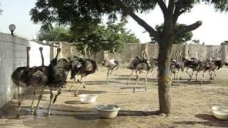 ostrich farm in pakistan